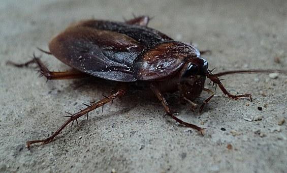 Skuteczne przeprowadzenie dezynsekcji przeciw karaluchom