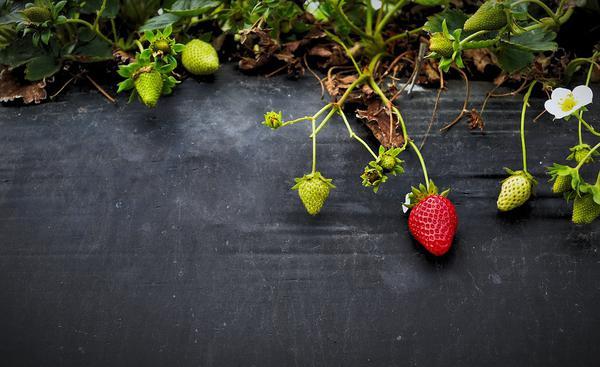 uprawa truskawek